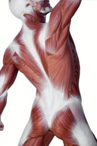 The Fascia, the Anatomy Trains and the Pilates Methodology ~ By Karin Locher